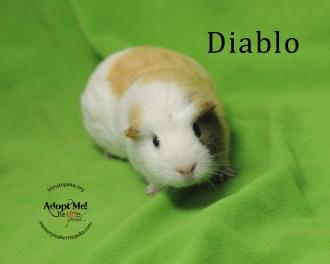 Diablo guinea pig